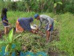 Ubi Madu Cilembu Tumbuh Subur di Sangatta