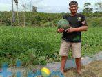 petani semangka tepian baru